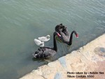 Black swan, in Canberra