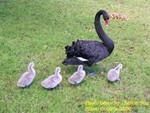 Black Swan in WA